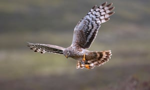 There had been a 23% fall in hen harrier numbers recorded to 2010