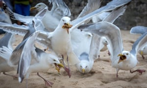 Be nice, like your townie cousins ... gulls squabble over discarded food on the beach at St Ives, Cornwall.
