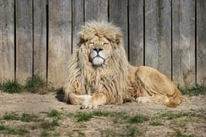 A lion takes a sun bath at the zoo in Wojciechow, near Lublin, eastern Poland