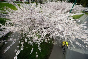A cyclist rides under a cherry blossom tree in full bloom at Stanley Park in Vancouver, Canada