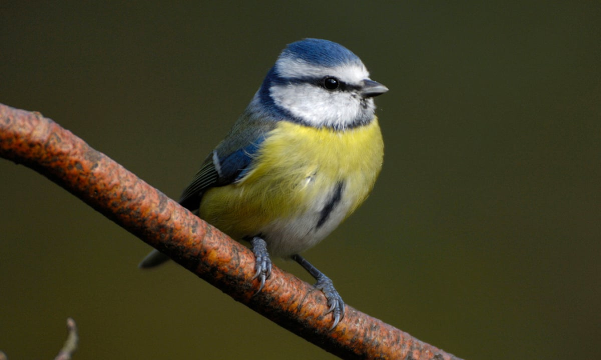 Mystery Bird Illness Investigated After German Blue Tit Deaths Environment The Guardian