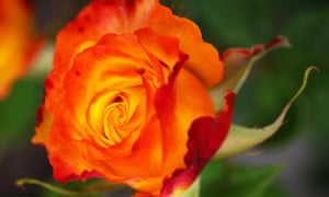 The Pat Austin rose, which was named after David Austin's wife.