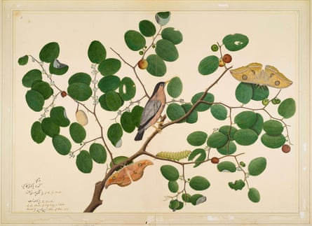 Brahminy Starling with Two Anteraea Moths, Caterpillar and Cocoon in Indian Jujube Tree, by Shaikh Zain ud-Din, 1780