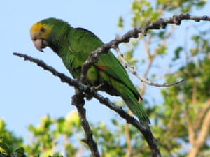 A yellow-shouldered parrot