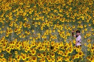 A child walks in a field of sunflowers in Chorleywood, Buckinghamshire