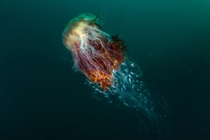 Hitchhikers (lion's mane jellyfish), by George Stoyle, overall winner. A lion's mane jellyfish inSt Kilda, off the island of Hirta, Scotland.