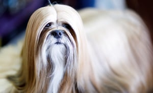 A Lhasa Apso named Eric is groomed during the 2019 Westminster Kennel Club Dog Show