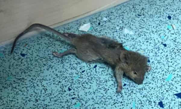 Rat in UCL's Hawkridge House student accommodation