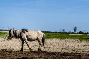 A horse with ribs showing in the Oostvaardersplassen nature area in the Netherlands