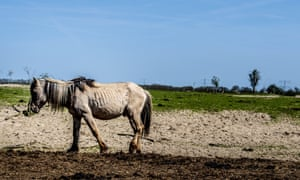 An emaciated horse.