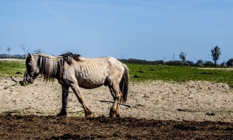 Dutch rewilding experiment sparks backlash as thousands of animals starve