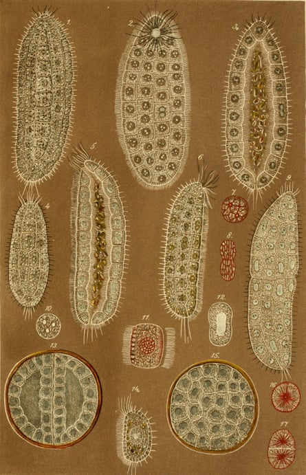 Johannes Frenzel's images of Salinella salve, the first and only time they were encountered.
