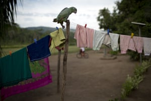 A parrot perches on a clothesline in Potsoteni, an Ashaninka indigenous community area in Peru's Junin region