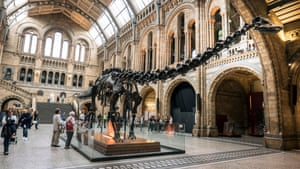 """""""Dippy"""" the Diplodocus on show at the Natural History Museum in London."""