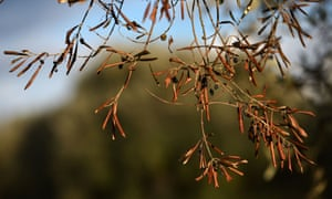 """a dried branch of olive tree infected by the bacteria """"Xylella Fastidiosa"""" in Caprarica near Lecce in the Puglia region."""