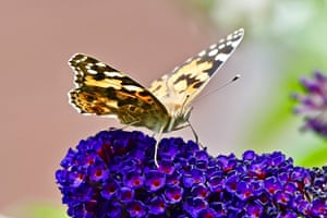 A painted lady butterfly (vanessa cardui) on the black knight buddleia (scrophulariaceae) flowers in Berkshire, UK.