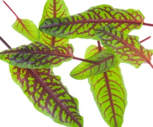 Green sorrel leaves with red stems