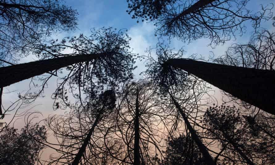 Burned through trees in California's Paradise area after a wildfire burned through the region.