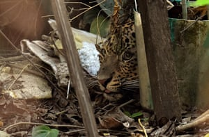 A leopard tries to hide in a residential area of Guwahati, India