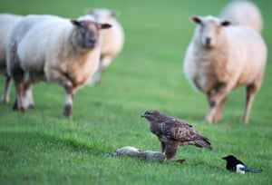 A wild male common buzzard feeds on a rabbit while curious sheep look on, Warwickshire, UK