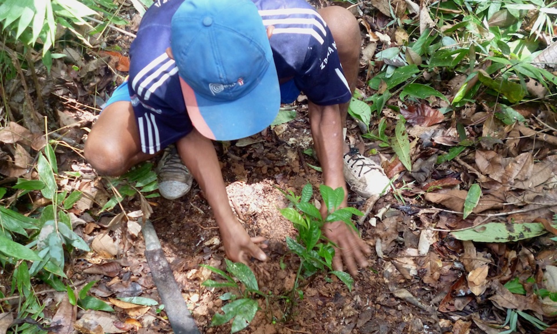 "One of many 1,000s of plantings in the seven ""healing forests"" recently established in Matsés territory. Photograph: Acate Amazon Conservation"