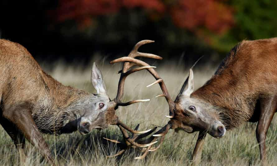 Conservationists and game chefs fear too few deer are being culled to keep herds sustainable.