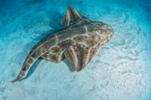 Angel shark.