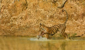 Playtime by Amogh Gaikwad in Tadoba tiger reserve, India