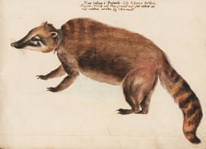 This is the earliest known image of a South American coati to have appeared in Europe