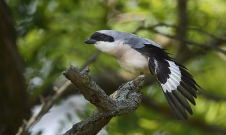 Country diary: in the shake of a shrike's tail