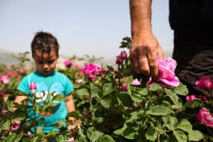 Ahmad stands near his father Salem al-Zarda as he picks roses at his rose planation in the Bekaa valley, Lebanon.