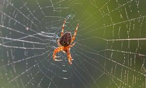 The European garden spider, Araneus diadematus.