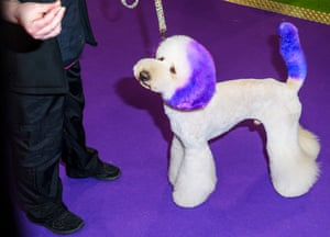 White dog with dyed purple ears and tail at Crufts dog show 2019