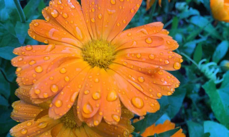 Bright stuff: keep a jug of orange flashback calendulas in the kitchen
