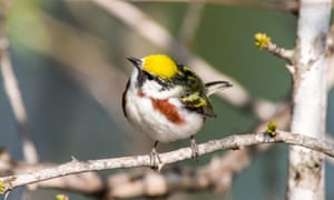 A chestnut-sided warbler perched on a branch during spring migration.