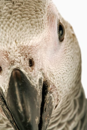 The DRC, home to the largest African grey population, argued strenuously against the ban.
