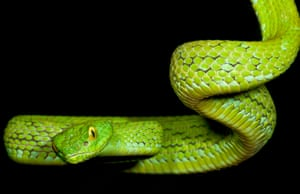 The Mexican palm-pitviper lives in elevated forests, at 4,900 to 6,000 feet – though these habitats are diminishing