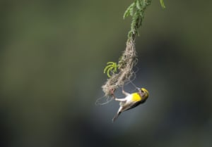 A Baya weaver bird builds a nest in a babul tree on the outskirts of Hyderabad, India