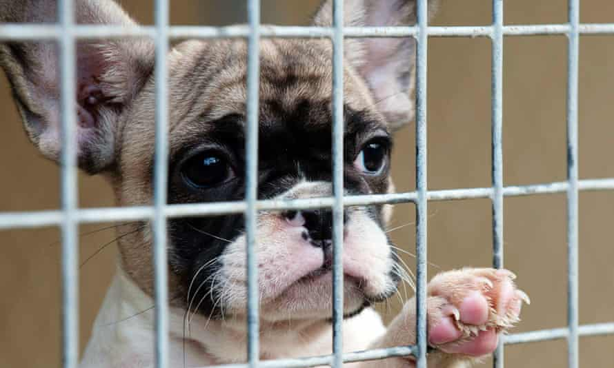 French bulldogs are the most popular breed smuggled into the UK from Central and Eastern Europe. Mabel is one of the many French bulldogs rescued from the boot of a car or the back of a van, destined to be sold online.