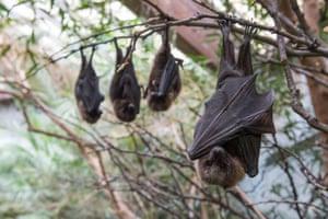Rodrigues fruit bats