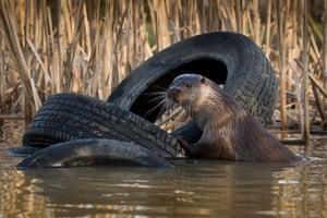 Otter - British Wildlife Centre, Surrey.