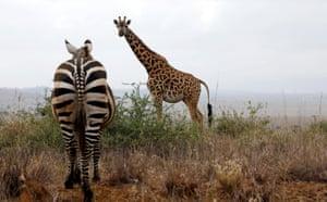 A zebra and a giraffe in the Nairobi national park, Kenya.