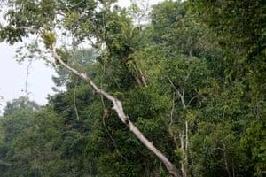 Proboscis monkeys, Kinibantangan River, Borneo.