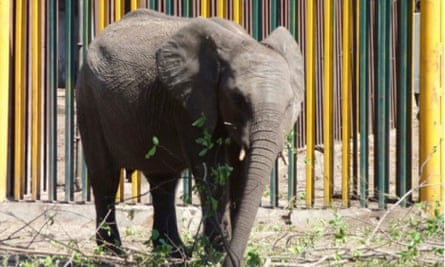 A young elephant in a holding pen in Hwange national park earlier this year. It is now en route to China