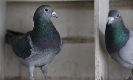 'Pigeons may not be able to write poetry, but they've had millions of years to develop the abilities that they need to navigate a very complicated and dangerous world.'