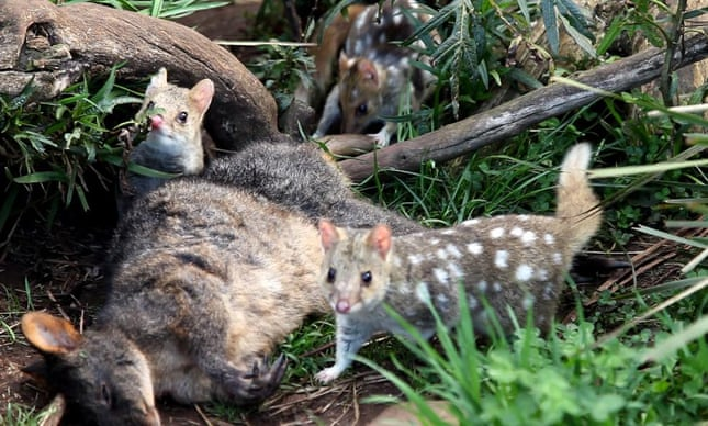 Eastern quolls, extinct on mainland, to be reintroduced in NSW national park