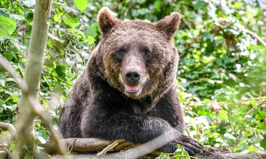 A European brown bear settles into the UK's largest brown bear exhibit at Wild Place Project, South Gloucestershire, where the bears are acclimatising in a huge new woodland habitat, to live alongside wolves, lynx and wolverine, as they would have done thousands of years ago