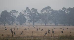 Kangaroos graze in a field as smoke shrouds Canberra.