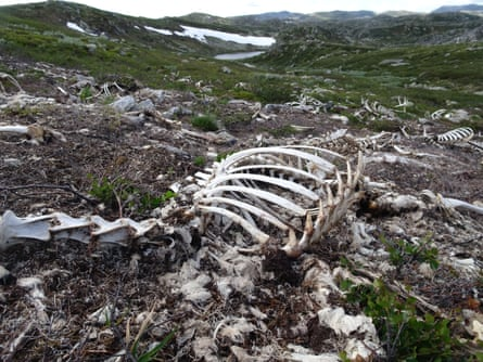 As the reindeer carcasses decomposed, the scientists were able to observe different wildlife behaviours around the carrion.