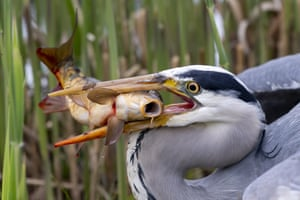A grey heron holds on to its catch in Geneva, Switzerland